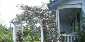 rose arch over timber pergola