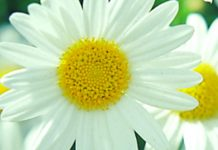 daisy white and yellow