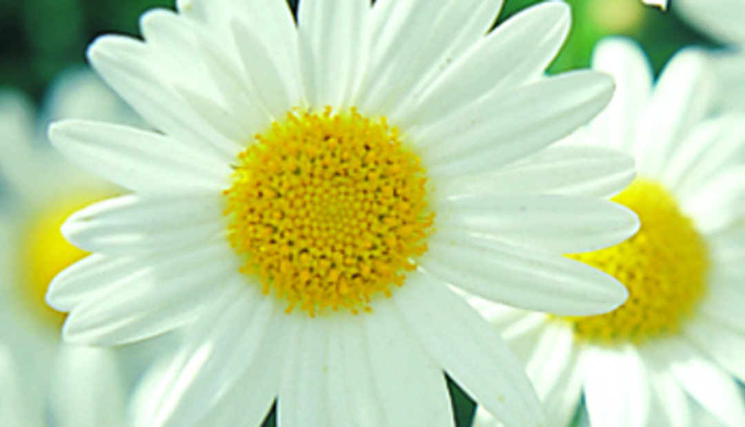 Image result for daisies images