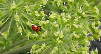 lady bird on umbel
