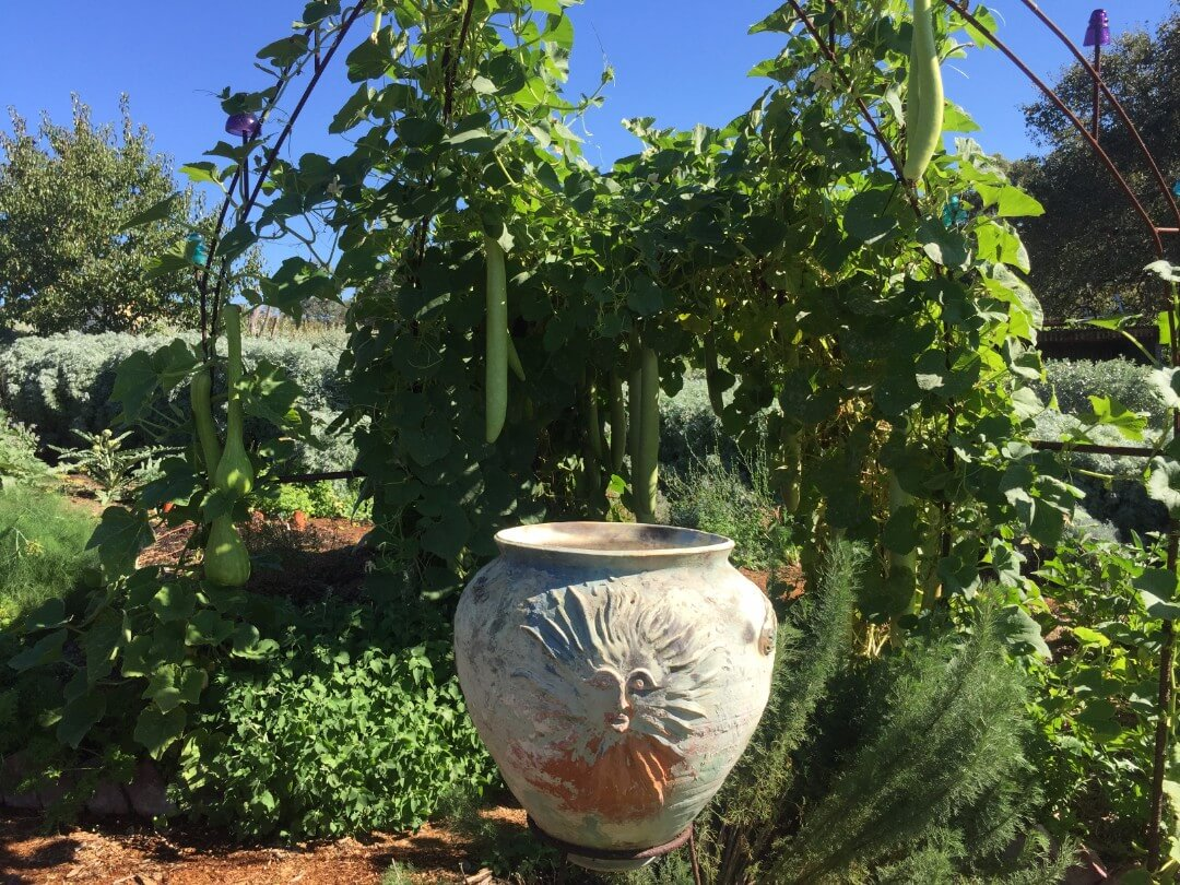 new guinea bean growing over large pot