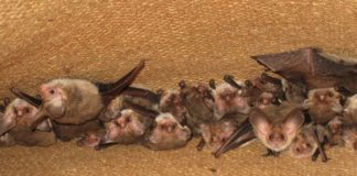 group of sleeping bats