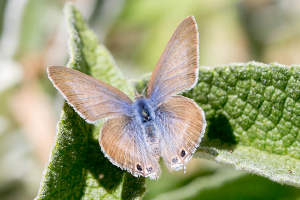 two spotted line blue butterfly