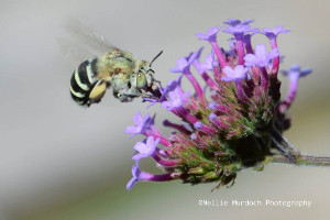 blye banded bee in flight