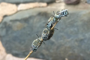 blue banded bees roosting on a stick