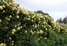 sophie-thomson-gold-bunny-climbing-rose