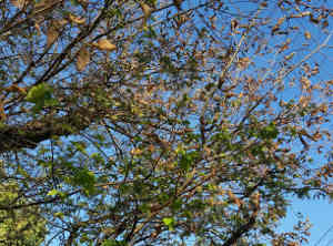 defoliated tree