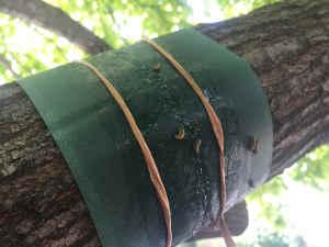elm leaf on band