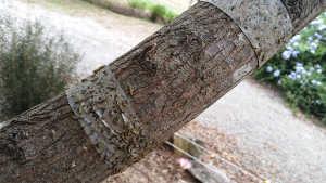 elm leaf beetle stuck on tape