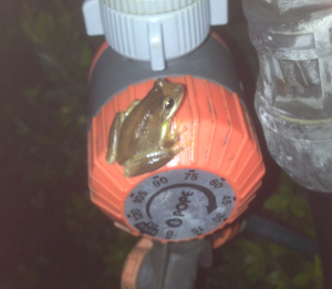 frog on tap