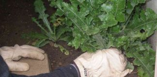 large thistle being weeded