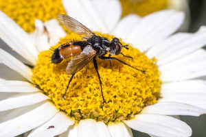 hoverfly on yellow and white daisy
