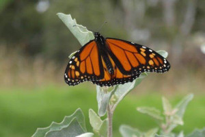 Monarch butterfly on saltbush