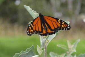 Monarch butterfly on saltbush