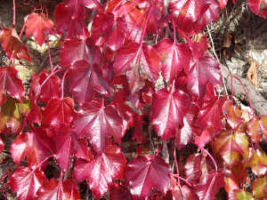 virginia creeper red leaves