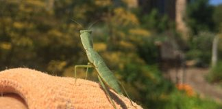 preying mantis on shoulder