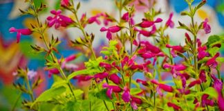 pink umbels