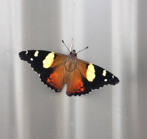 australian admiral butterfly on tin