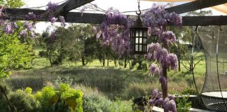 wisteria first blooms