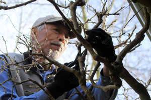 Fumio pruning wisteria