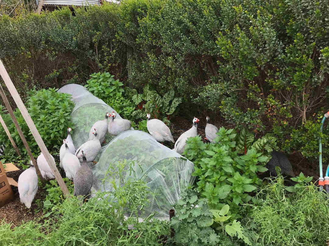 guinea fowl on nets