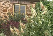 Buddleja with stone house