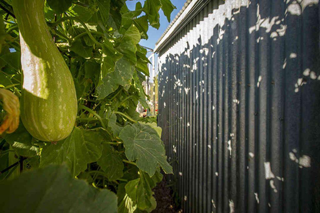 vegies providing shade